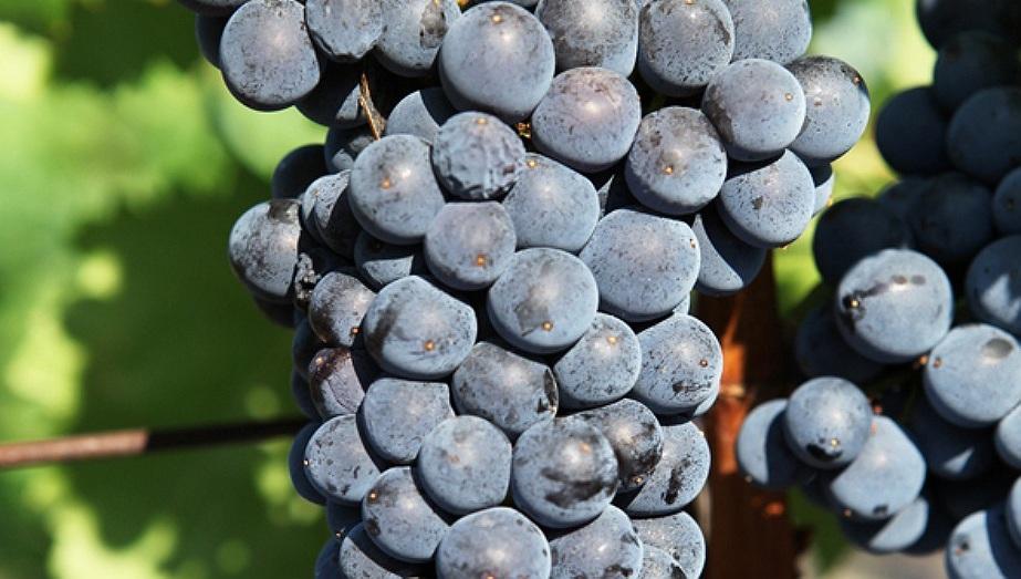 Grenache Chateau de Lancyre AOC Coteaux du Languedoc Pic Saint Loup vin Pic Saint Loup
