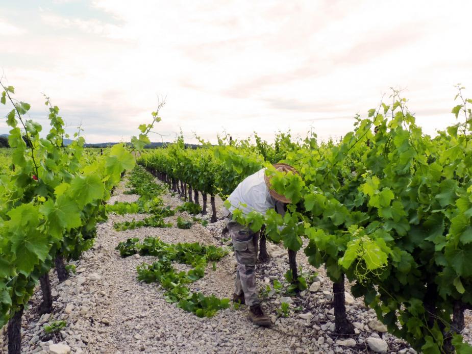 Eclaircissement des souches: aérer et réguler la récolte