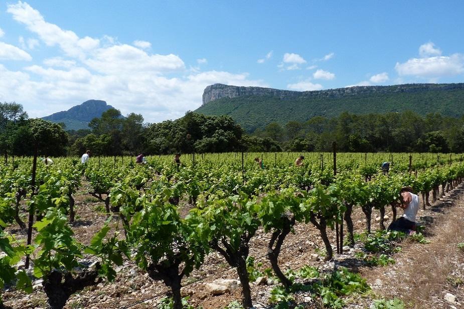 debudding Chateau de Lancyre AOC Coteaux du Languedoc Pic Saint Loup