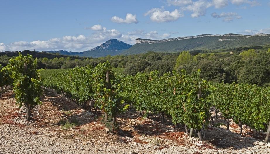 parcelle de Syrah sur la Defriche Chateau de Lancyre AOC Coteaux du Languedoc Pic Saint Loup