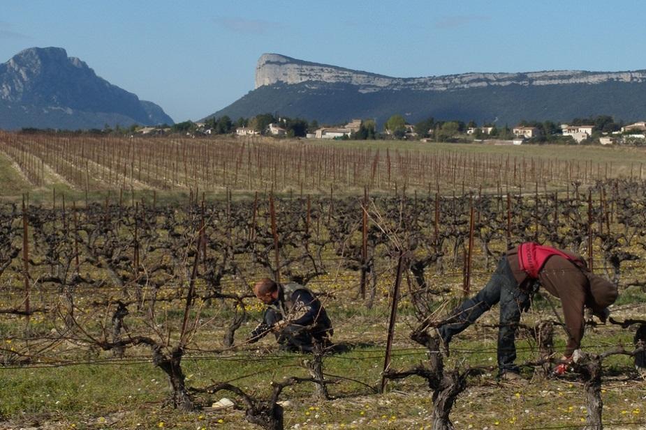 La taille au Chateau de Lancyre AOC Coteaux du Languedoc Pic Saint Loup