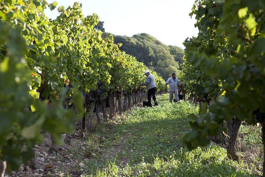 Manual harvesting Chateau de Lancyre AOC Coteaux du Languedoc Pic Saint Loup