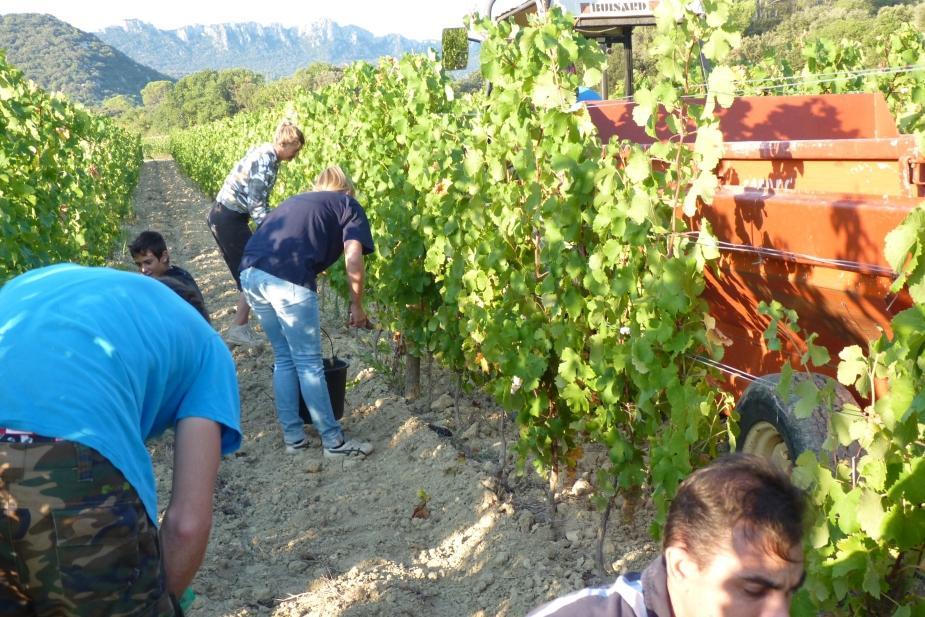 Harvesting by hand chateau de lancyre pic saint loup wine