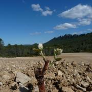 Jeune vigne de Syrah a Fambetou du Château de Lancyre AOC Coteaux du Languedoc Pic Saint Loup