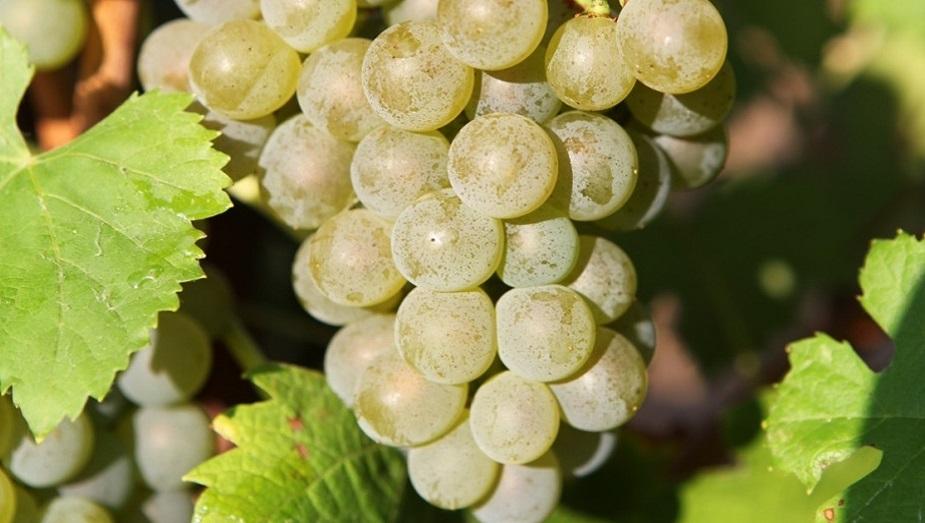 viognier Chateau de Lancyre AOC Coteaux du Languedoc Pic Saint Loup vin Pic Saint Loup